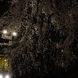 枝垂れ桜 その3