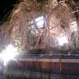 枝垂れ桜 その1