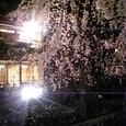 枝垂れ桜 その2