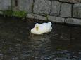 白川の白鳥さん