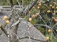 落柿舎の柿